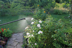 Spraying white rose shrub with garden hand sprayer. Spraying white rose shrub against pests and diseases with garden hand sprayer. Nearby is garden path from Stock Photography