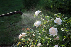 Spraying white rose shrub with garden hand sprayer. Closeup. Spraying white rose shrub against pests and diseases with garden hand sprayer. Closeup Royalty Free Stock Photos