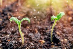 Spraying young sprout of tomatoes, watering and caring for seedlings stock photography