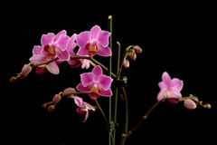 Sprays of deep pink phalaenopsis orchids Stock Photo