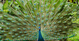 The Spread. A full frame shot of a peacock from a different angle Stock Photo