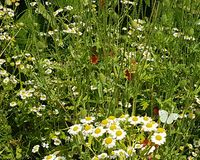 Spread of large leucanthemum daisies with cabbage butterfly royalty free stock photography