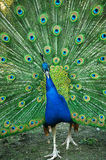 Spread of a peacock Stock Photography