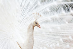 Spread of a white peacock Royalty Free Stock Photo