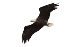 Spread wing bald eagle soars across the sky. White background stock image
