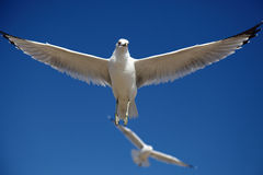Spread the wings. Birds fly in a blue sky, spreading their beautiful wings Stock Photos