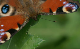 Spread wings butterfly. Macro-Butterfly with spread wings Stock Photos