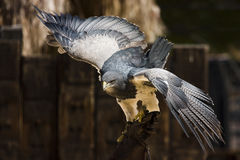Spread your wings. Hawk on a training center of a zoo Royalty Free Stock Photos