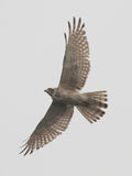 Spread your wings. A hawk (grey-faced buzzard) is spreading its wings in the wind royalty free stock image