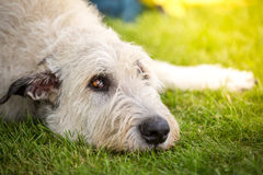 Spreaders look of a Irish Wolfhound Stock Photos