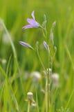 Spreading bellflower (Campanula patula) Stock Photo