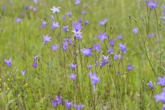 Spreading bellflower,  Campanula patula Royalty Free Stock Photos