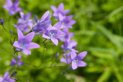 Spreading bellflower (Campanula patula) Royalty Free Stock Photography