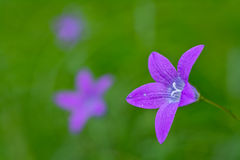 Spreading bellflower in nature Stock Image