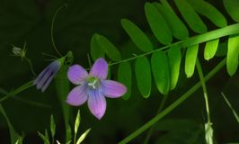 Spreading bellflower. Spreadingbellflower, flowers, purple, purpleflowers, beautyful, beautiful, beautyinnature, wildflowers, green, beautifulnature stock photo
