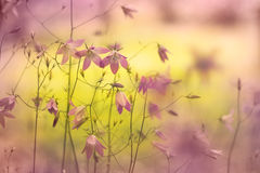 Spreading bellflowers Stock Images