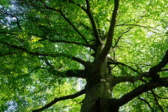 Spreading branches of mature beech tree Royalty Free Stock Photos