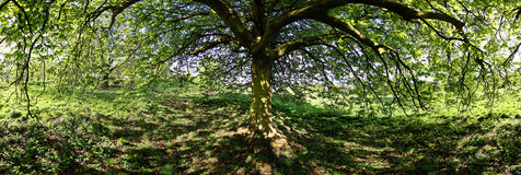 Spreading chestnut tree. Panoramic view under a Chestnut tree Royalty Free Stock Image