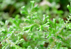 Spreading clubmoss. Having another common name Krauss spikemoss, is a kind of lycophyte (species name: Selaginella kraussiana Stock Photo