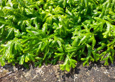 Spreading clubmoss or selaginella kraussiana Stock Images