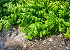 Spreading clubmoss or selaginella kraussiana. Or selaginellaceae or selaginella helferi warb Stock Photos