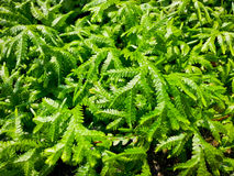 Spreading clubmoss or selaginella kraussiana. Or selaginellaceae or selaginella helferi warb Stock Photography
