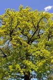 Spreading crown oak Stock Photo