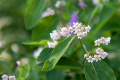 Spreading dogbane Flowers in Summer royalty free stock photos