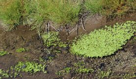 Duckweed spreading in a slow moving creek. Spreading duckweed in a slow moving creek Royalty Free Stock Photo