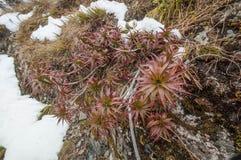 Spreading grass tree (Dracophyllum menziesii) - or pineapple shrub Stock Image