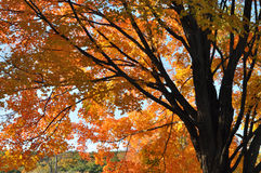 Spreading maple in fall foliage. Brilliant fall sunshine gleams through golden orange leaves in a warm Rhode Island Autumn Stock Images