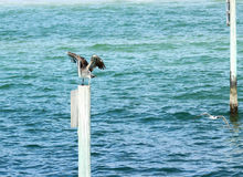 Pelican Preparing to Fly. A pelican spreads his wings on a post in the ocean royalty free stock photo