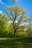 Spreading oak in the park Royalty Free Stock Photo