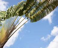 Spreading palm against the sky Royalty Free Stock Photo