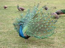 Spreading Peacock Royalty Free Stock Images