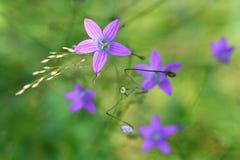 Spreading Purple Bellflower Stock Photography