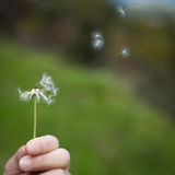 Spreading the seeds. Hand holding a Dandelion Royalty Free Stock Photo