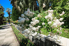 Spreading shrub roses in the arboretum of Sochi, Russia, summer day Stock Photos
