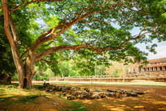 Spreading tree beside the ancient Angkor Wat in Cambodia Stock Image