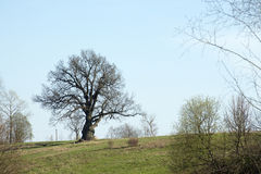 Spreading tree. In the countryside Stock Image