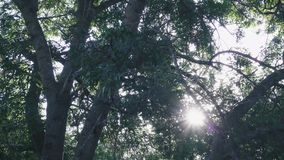 Spreading tree and rays of the sun through branches. View from under a spreading tree and rays of the sun through branches and camera movement stock footage