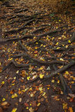 Spreading tree root system and fallen leaves on the ground. Top view Royalty Free Stock Images