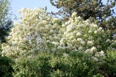 Spreading White blossoms of ash tree stock photo