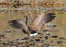 Spreading your wings. A goose with wings spread wide Royalty Free Stock Image