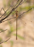 Spreadwing Damselfly Stock Photo