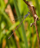 Spreadwing Damselfly Stock Photography