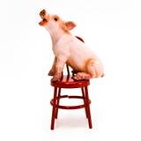 Sprechen Sie oben! Schwein auf Stuhl stockbild