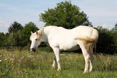 Sprechenoder lachendes weißes Pferd Lizenzfreies Stockfoto