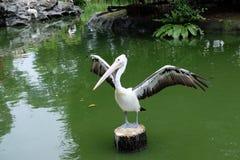 Spreds del pellicano le sue ali Fotografie Stock