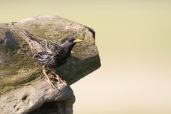 Spreeuw, Common Starling, Sturnus vulgaris. Spreeuw zittend bij nest; Common Starling perched at nest royalty free stock photography